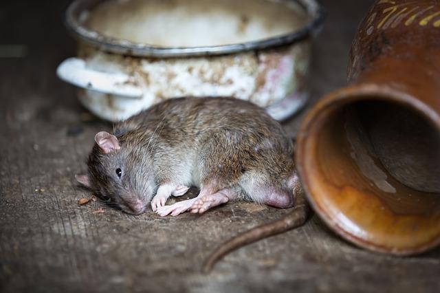 Was hilft gegen Ratten